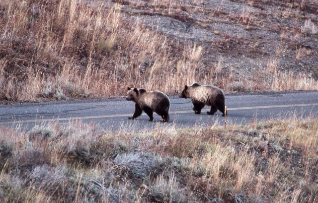 Two grizzly bear sub adults on the road in the Antelope Creek drainage Picture