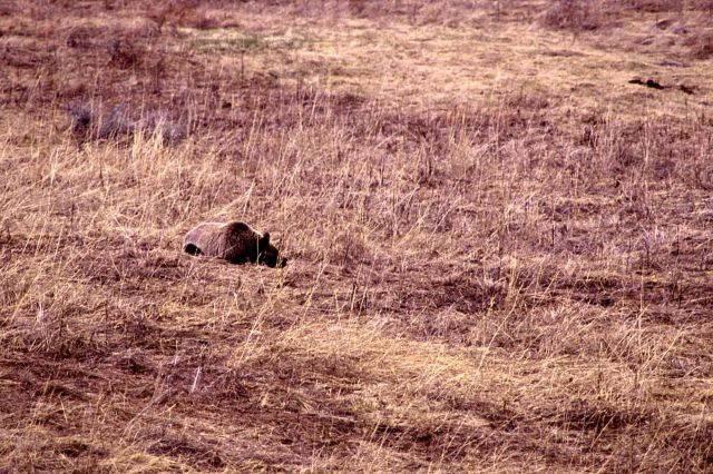 Grizzly bear lying down in meadow near Geode Creek, same bear as in -14778 Picture