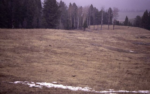 Distant view of grizzly bear lying down in meadow near Geode Creek, same bear as -14777 Picture