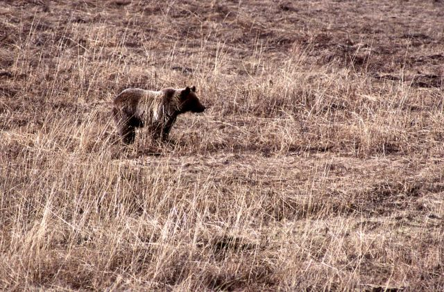 Grizzly bear in meadow near Geode Creek Picture