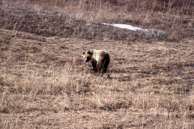Grizzly bear in meadow near Geode Creek Picture