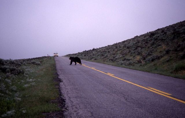 Grizzly bear sow crossing road in Lamar Valley Picture