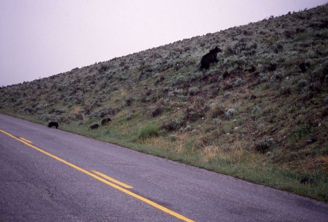 Grizzly bear sow & three cubs crossing road in Lamar Valley Picture