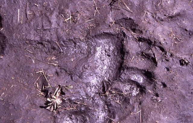 Grizzly bear track on the Cache Creek trail Picture
