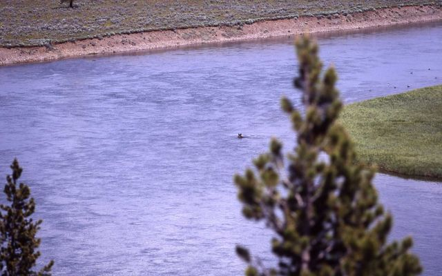 Grizzly bear swimming in the Yellowstone River in Hayden Valley Picture