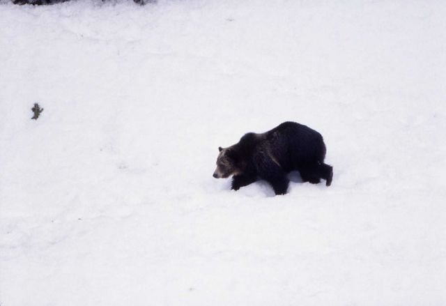 Grizzly bear in the snow near LeHardy Rapids Picture