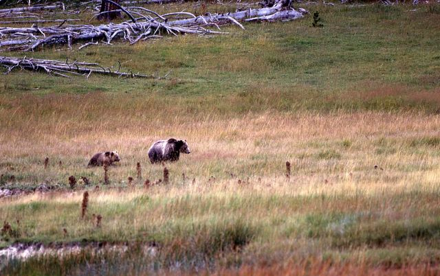 Grizzly bear sow & cub near Nymph Lake Picture