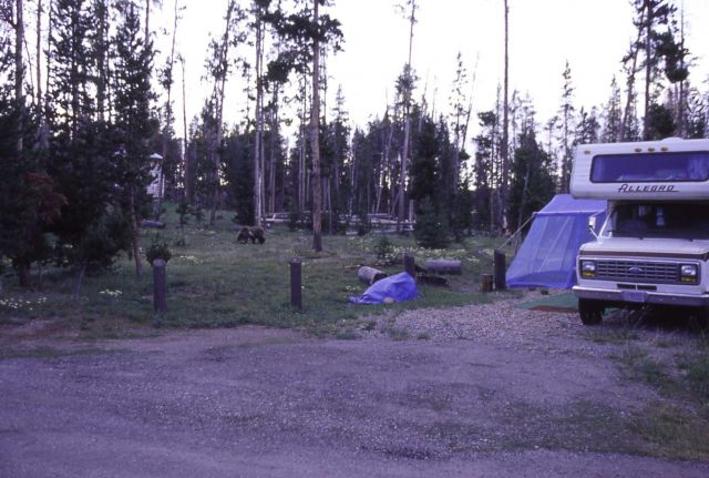 Grizzly bear (nicknamed Kelty) in Indian Creek campground Picture
