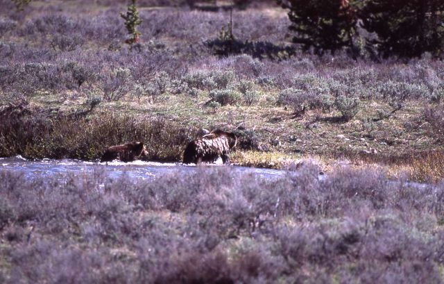 Grizzly bear & one cub coming out of the Gardner River near Sheepeater Cliff Picture