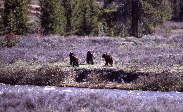 Grizzly bear & two cubs at Gardner River near Sheepeater Cliff Picture