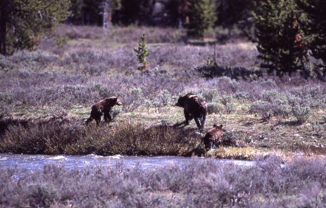 Grizzly bear & two cubs coming out of the Gardner River near Sheepeater Cliff Picture