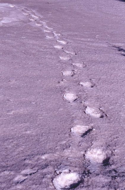 Grizzly bear tracks in the snow near the northeast entrance Picture