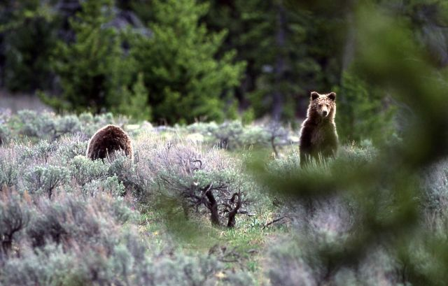 Grizzly bear yearling (of sow -264) near Sheepeater Cliff Picture