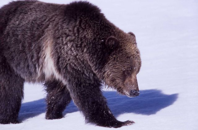Close up of grizzly bear -264 walking on snow near Obsidian Creek Picture