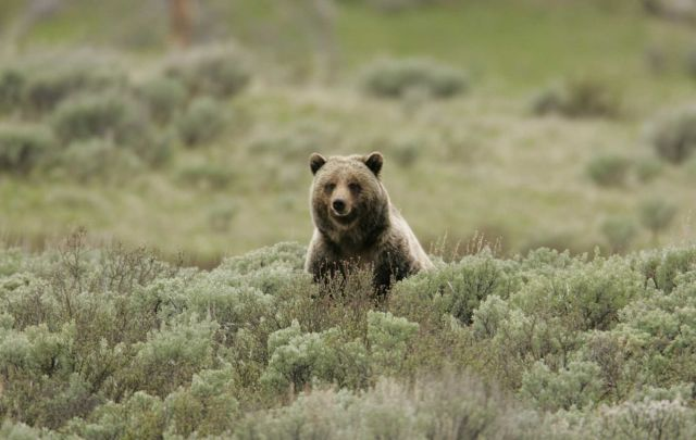 Grizzly bear on Swan Lake Flats Picture