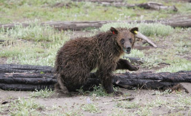 Grizzly bear yearling relocated from Stevenson Island to south arm of Yellowstone Lake Picture