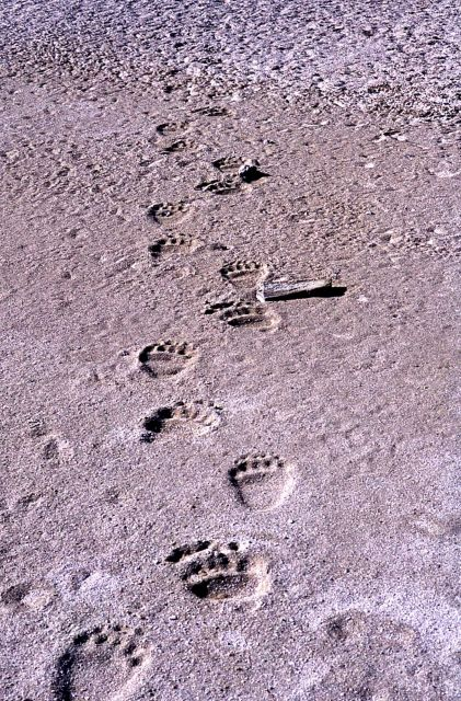Grizzly bear tracks Picture