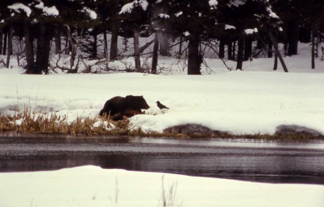 Raven & grizzly bear at elk carcass Picture