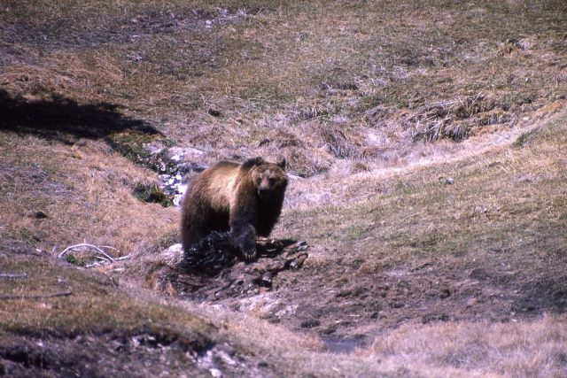 Grizzly bear on elk carcass near Terrace Spring Picture