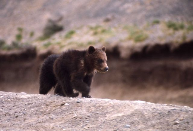 Grizzly bear cub Picture