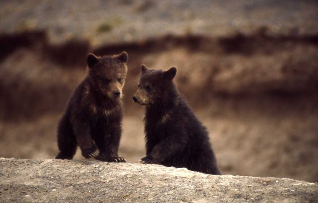 Two grizzly bear cubs Picture