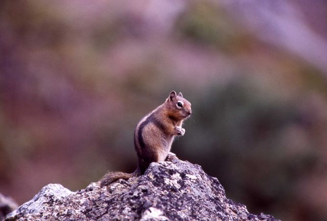 Golden-mantled ground squirrel Picture