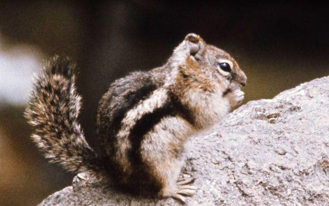 Golden-mantled ground squirrel Picture