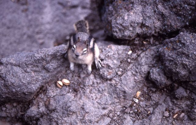 Golden-mantled ground squirrel near Gibbon Falls Picture