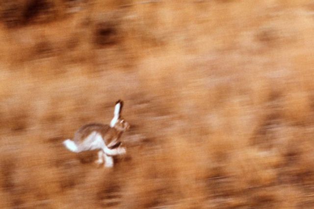 Jackrabbit in motion Picture