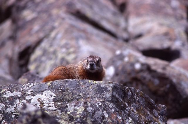 Yellow-bellied Marmot on rock Picture