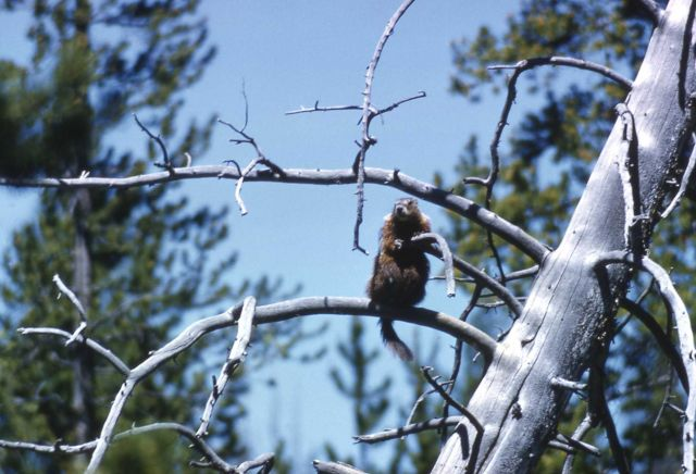 Yellow-bellied Marmot on dead tree limb Picture