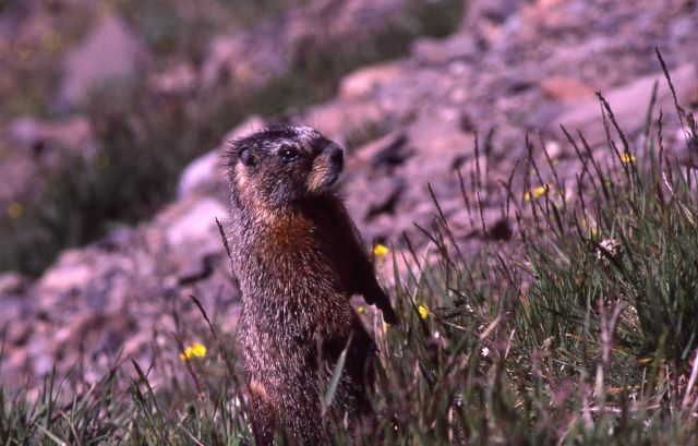 Yellow-bellied Marmot standing upright Picture