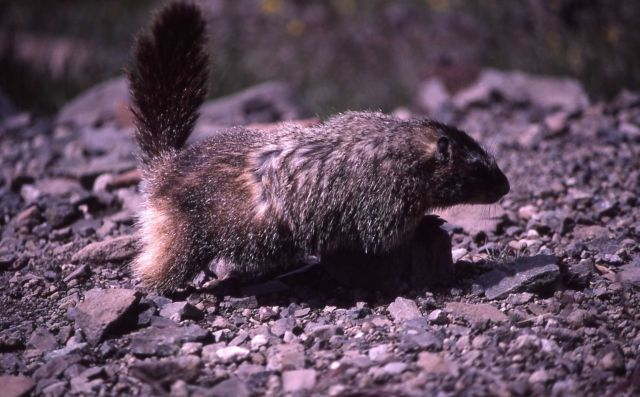 Yellow-bellied Marmot on all fours with tail erect Picture