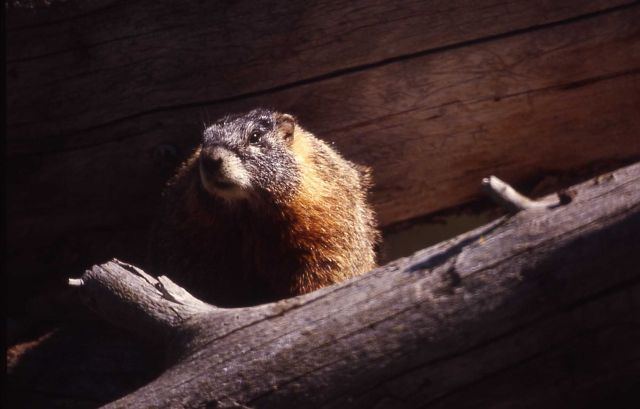 Yellow-bellied Marmot Picture