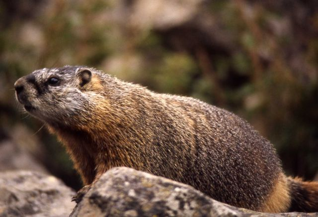 Close up of a Yellow-bellied Marmot Picture