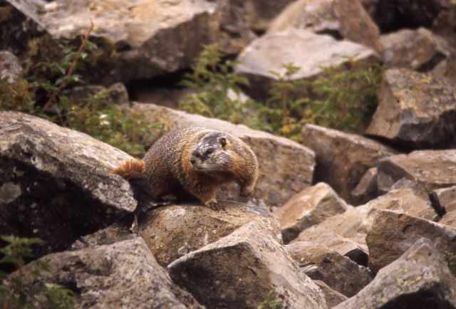 Yellow-bellied Marmot in rocks Picture