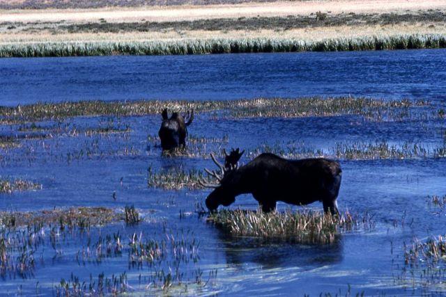 Moose at Alum Creek Picture