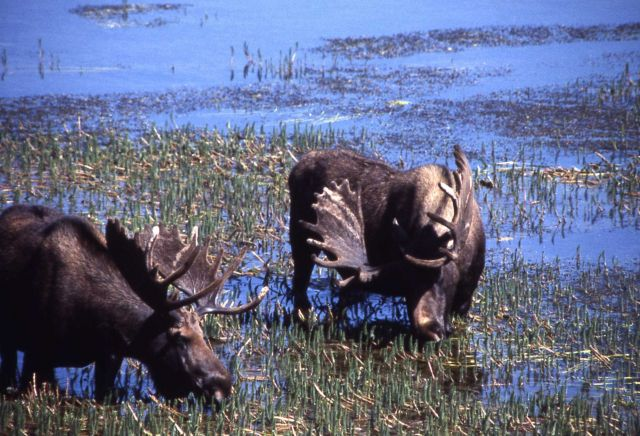 Two bull moose Picture
