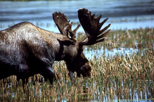 Bull moose Picture