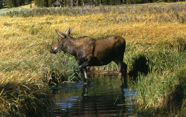 Cow moose in Willow Park Picture