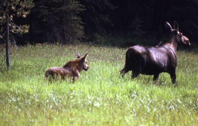 Moose cow & calf Picture