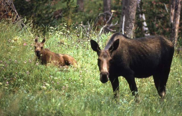 Moose cow & calf Picture