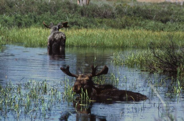 Moose in water Picture