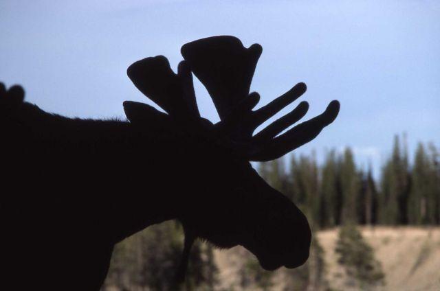 Moose in Pelican Valley Picture