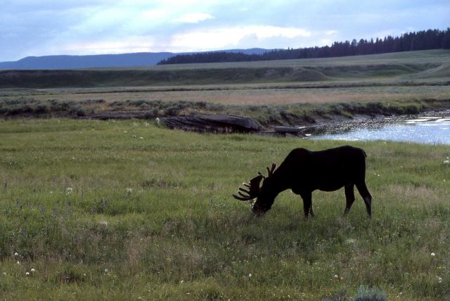 Moose in Pelican Valley Picture