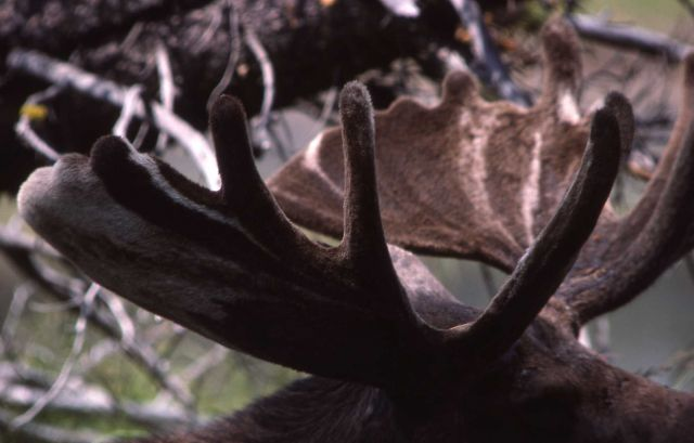 Moose with mature rack in velvet Picture