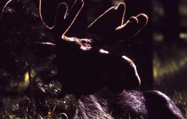 Silhouette of moose in velvet Picture