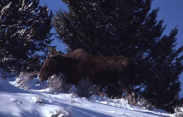 Cow moose in deep snow Picture