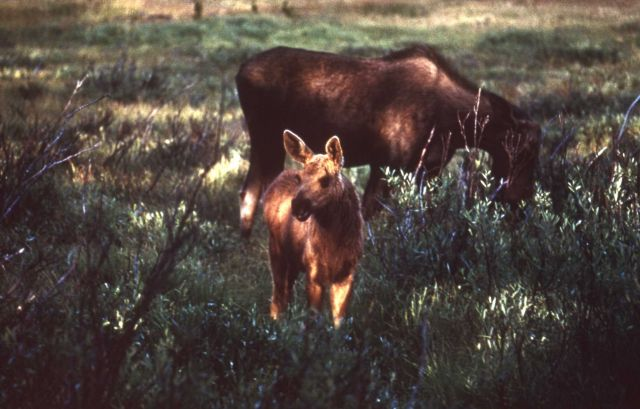 Cow moose & calf at Willow Creek Picture