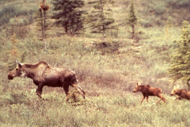 Cow moose & twin calves in Denali National Park Picture